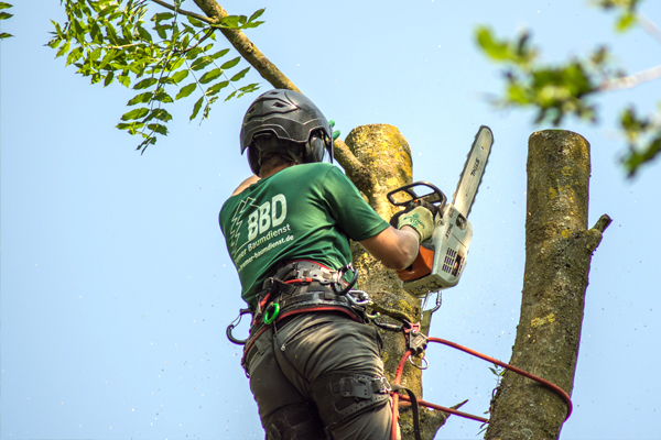 Bremer Baumdienst Seilkletterer mit Motorsäge